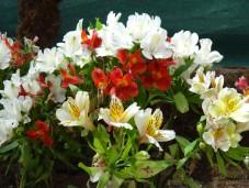 AANGEE FLOWER